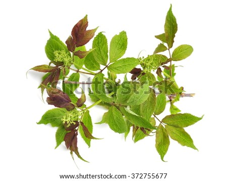 Branch from Red-berried Elder tree with flowers - stock photo