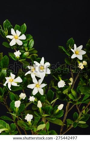 branch gardenia  - stock photo