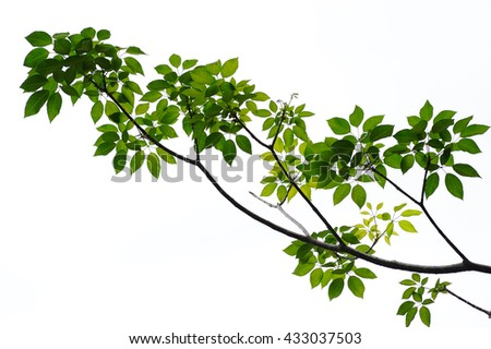 Branch green leaf isolated on white background - stock photo