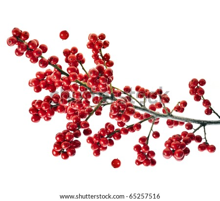 branch holly with red berries  isolated on white - stock photo