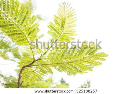 Branch leaves and isolate sky or White sky. - stock photo