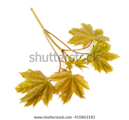 Branch maple, young sprouts with leaves, isolated on white background. Close-up, top view.  - stock photo