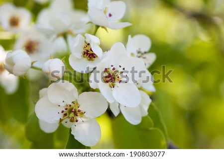 Branch of a blossoming pear close up - stock photo