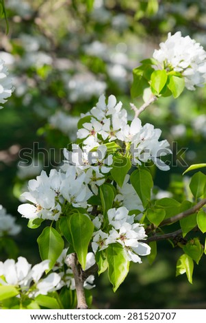Branch of a blossoming pear tree close up - stock photo