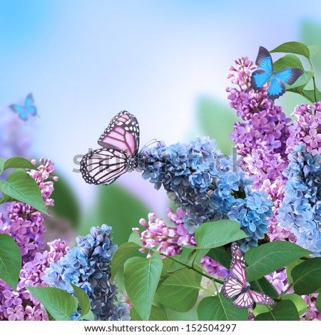 Branch of a multi-colored syringa, spring flowers - stock photo