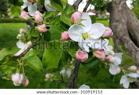 Branch of a spring apple-tree with beautiful white flowers - stock photo