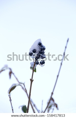 Branch of a tree with berries covered with snow and ice - stock photo