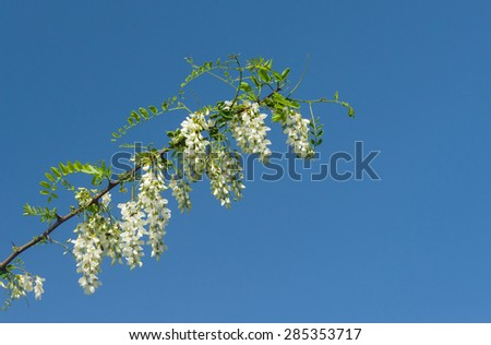 Branch of acacia against pure blue sky at flowering season - stock photo