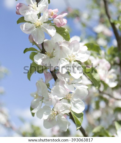 Branch of apple tree with flowers - stock photo