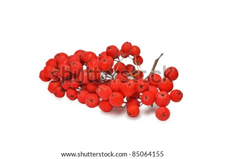 Branch of ashberry isolated on white - stock photo