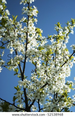 Branch of blooming fruit tree with white flowers #1 - stock photo