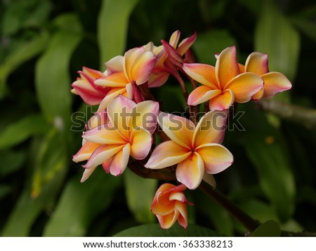 branch of blossom and colorful plumeria flowers - stock photo