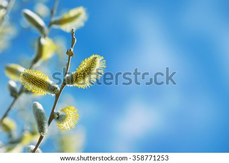 Branch of  blossoming willow against the blue sky - stock photo