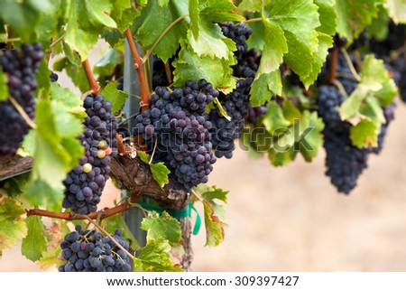 Branch of blue grapes on vine  - stock photo