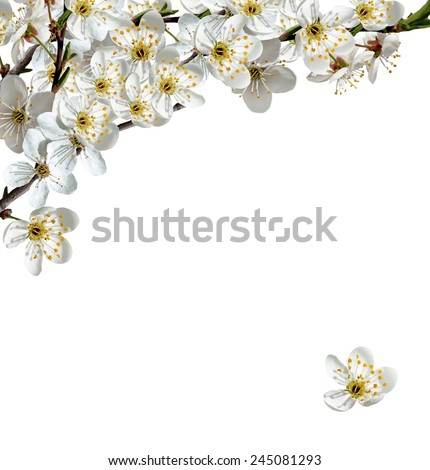 branch of cherry blossoms isolated on white background. - stock photo