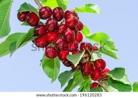 Branch of cherry tree with ripe tasty sweet berries and leaves against clear blue sky - stock photo
