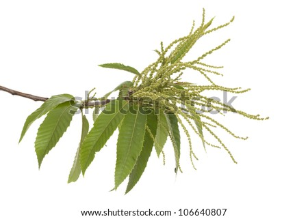 branch of chestnut (Castanea sativa Mill) on white - stock photo