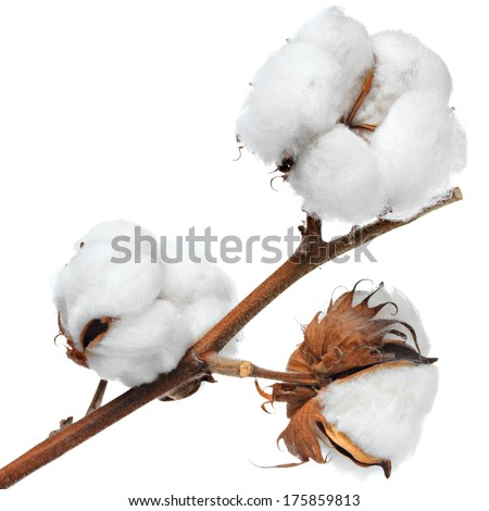 branch of cotton - stock photo
