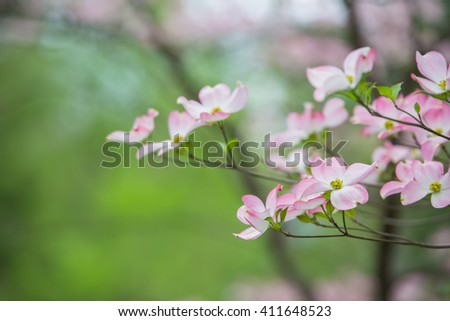 Branch of eastern pink dogwood trees in bloom in the spring with green trees and flowers in the background - stock photo