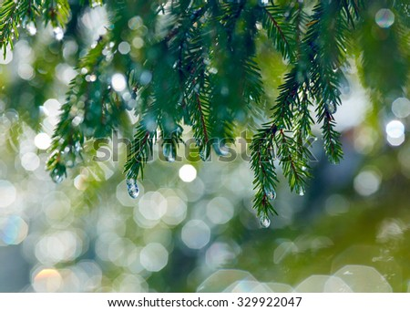 Branch of fir tree with waterdrops. Shallow DOF - stock photo