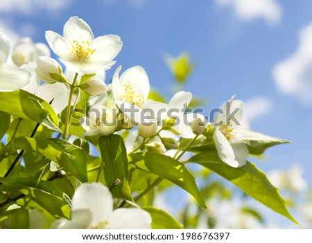 Branch of garden jasmin in blossom with white flowers on blue sky. - stock photo