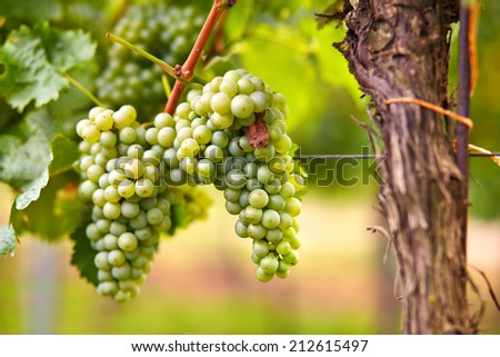 Branch of gree grapes on vine in vineyard - stock photo