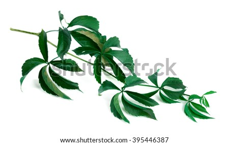 Branch of green grapes leaves (Parthenocissus quinquefolia foliage). Isolated on white background. - stock photo