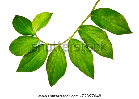 Branch of green leaves isolated on white background - stock photo