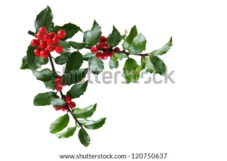 Branch of Holly leaves and berry isolated on white - stock photo