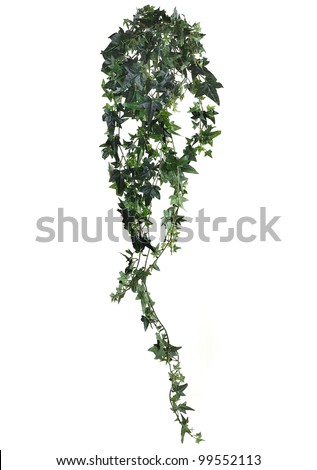 Branch of ivy on a white background - stock photo