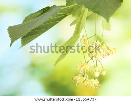Branch of linden flowers in garden - stock photo