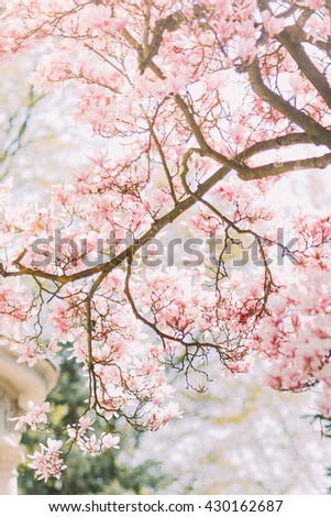 Branch of magnolia tree in bloom with tender pink flowers - stock photo