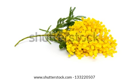 branch of mimosa isolated on white background - stock photo