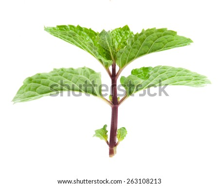branch of mint - stock photo