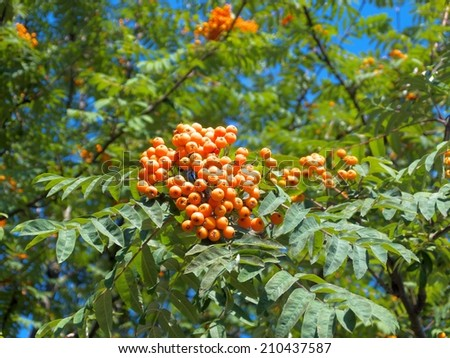 branch of mountain red ash - stock photo