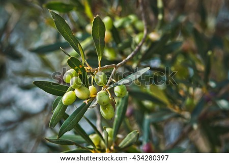 Branch of olive tree with green olives in Tunisia growing in a natural environment - stock photo