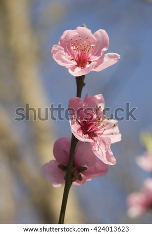 Branch of peach tree with flowers - stock photo