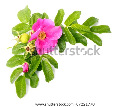 Branch of pink dog rose on white background - stock photo