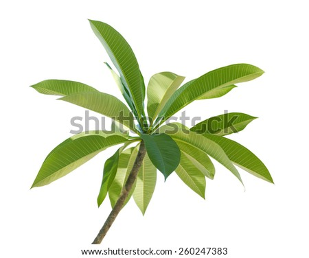 Branch of Plumeria Frangipani leaf  isolated on white background - stock photo