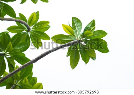 Branch of Plumeria leaves isolated on white background - stock photo