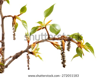 branch of poplar. Fresh spring tree branch with leaves isolated on a white background. - stock photo
