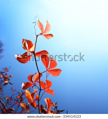 Branch of red autumn grapes leaves. Parthenocissus quinquefolia foliage over blue sky in sunlight. Autumn concept - stock photo