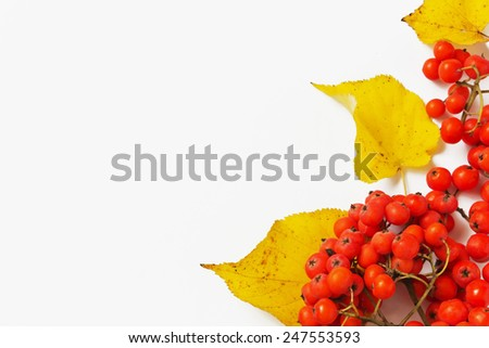 branch of red mountain ash and autumn leaves on a light background. autumn motifs. copy space background - stock photo