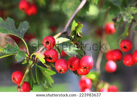 Branch of ripe hawthorn at sunny autumn day, close up - stock photo
