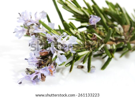 branch of rosemary with flowers on the white background (Rosmarinus officinalis L.)  - stock photo