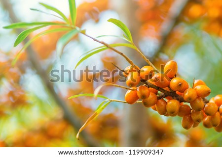 Branch of sea buckthorn berries during late summer, Sweden - stock photo