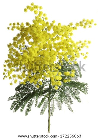 Branch of Silver Wattle Isolated on White Background - stock photo