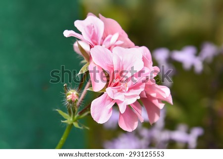 Branch of spring blossom with pink flowers and buds from botanical garden Ooty India. Geranium Pelargonium Zonale flower with buds. - stock photo