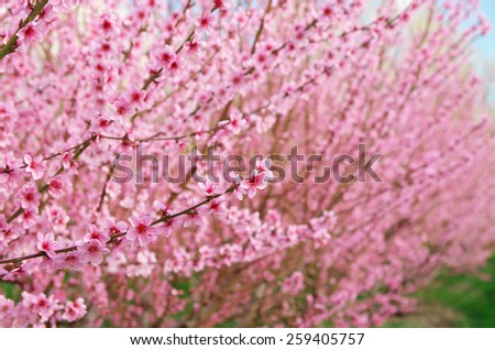 Branch of spring peach. Flower tree. Nature composition. - stock photo