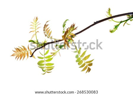 Branch of sumac with young spring leaves isolated on white